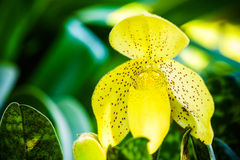 Lady's Slippers Flower Stock Photos