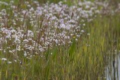 Lady`s smock Cardamine pratensis. Ladys smock Cardamine pratensis, pink flowers growing in the wild Royalty Free Stock Photos