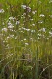 Lady`s smock Cardamine pratensis. Ladys smock Cardamine pratensis, pink flowers growing in the wild Stock Image