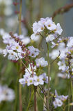 Lady`s smock Cardamine pratensis Royalty Free Stock Photography