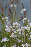 Lady`s smock Cardamine pratensis Royalty Free Stock Images