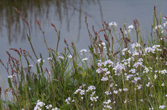 Lady`s smock Cardamine pratensis. Ladys smock Cardamine pratensis, pink flowers growing in the wild Royalty Free Stock Image