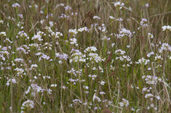 Lady`s smock Cardamine pratensis. Ladys smock Cardamine pratensis, pink flowers growing in the wild Stock Images