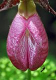 Lady Slipper Stock Photo