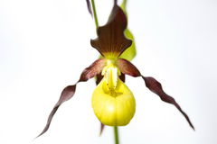 Lady -slipper Royalty Free Stock Photography