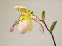 Lady Slipper Orchid Royalty Free Stock Image
