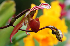 Lady slipper (orchid) Stock Image