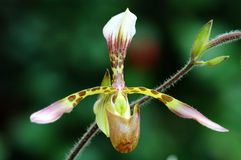 Lady slipper (orchid) Stock Images
