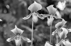 Lady slipper orchid black and white Royalty Free Stock Photos