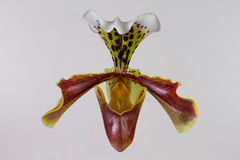 Lady slipper Orchid. Close-up of a Lady slipper orchid flower Stock Images