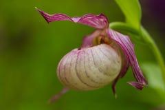 Lady slipper orchid (Cypripedium) Stock Photo