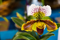 Lady slipper orchid flower Royalty Free Stock Images