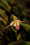 Lady Slipper Orchid flower Paphiopedilum Royalty Free Stock Photography