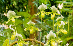 Lady slipper orchid Stock Photos