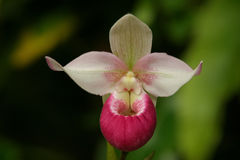 Lady Slipper Orchid Paphiopedilum Royalty Free Stock Image