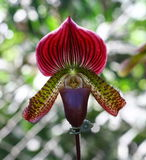 Lady Slipper Orchid Paphiopedilum Royalty Free Stock Photography