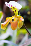 Lady slipper orchid, Paphiopedilum Royalty Free Stock Image