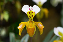 Lady slipper orchid, Paphiopedilum Royalty Free Stock Photography