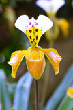 Lady slipper orchid, Paphiopedilum Stock Photo