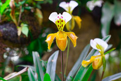 Lady slipper orchid, Paphiopedilum Royalty Free Stock Images