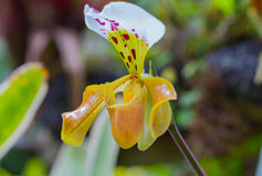 Lady slipper orchid, Paphiopedilum Stock Photos