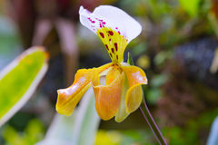 Lady slipper orchid, Paphiopedilum Stock Photography