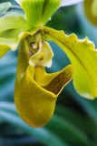 Lady Slipper Orchid Paphiopedilum Stock Photography