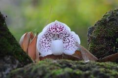 Lady slipper orchid. Paphiopedilum leucochilum (Rolf) Fowlie Stock Image