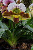 Lady slipper orchid or Paphiopedilum Slipper Orchid Royalty Free Stock Photo