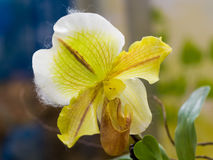 Lady Slipper Orchid Paphiopedilum Royalty Free Stock Images