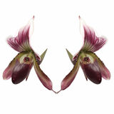 Lady slipper orchid. Subfamily Cypripedioideae of the flowering plant family Orchidaceae Royalty Free Stock Image