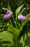 Lady slipper orchid Royalty Free Stock Photo