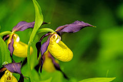 Lady slipper orchid. Wildflower in Germany Royalty Free Stock Photos