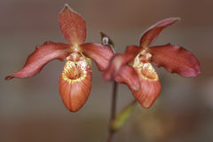 Lady Slipper Orchids. Cultivated, grown in a garden Stock Images
