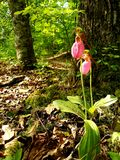 Lady slippers on spring royalty free stock photo