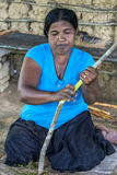 A lady stripping the skin off a cinnamon branch in Sri Lanka. Royalty Free Stock Image