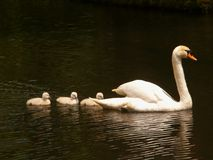 Lady Swan and her Babies Royalty Free Stock Photography