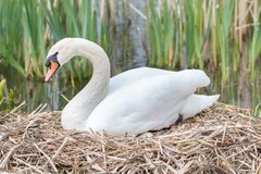 Beautiful white swan in nest. Lady Swan sitting in a nest in spring protecting her eggs Stock Photo