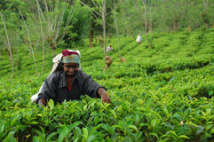 Lady Tea Worker At The Tea Plantation. Ceylon tea is known all over the world for its taste and flavor. Only Tamil women work at the plantations in Sri Lanka Stock Image