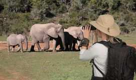 Lady tourist with binoculars on safari looking at elephants royalty free stock images