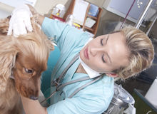 Lady vet. Examining the dog in her office Stock Images