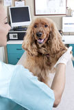 lady veterinary and dog  Royalty Free Stock Photos