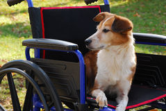 Lady in Waiting. Mixed breed dog waits in wheelchair for her master to return Royalty Free Stock Photo