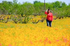 Lady walking Spring flowers carpet Texas Austin peach tree. Spring flowers carpet in Texas Austin colorful blooming blossom farm travel lady walking stock photography