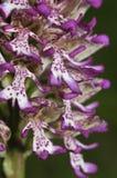 Lady x Monkey Orchid Hybrid Royalty Free Stock Photo