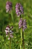 Lady x Monkey Orchid Hybrids Stock Photography