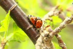 Ladybag contre l'AMOUR d'herbe verte… Photographie stock