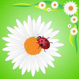 Ladybag na rumianku Zdjęcia Stock