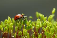 Ladybag walking on moss stalks Stock Photography