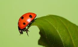 Ladybeetle stock fotografie